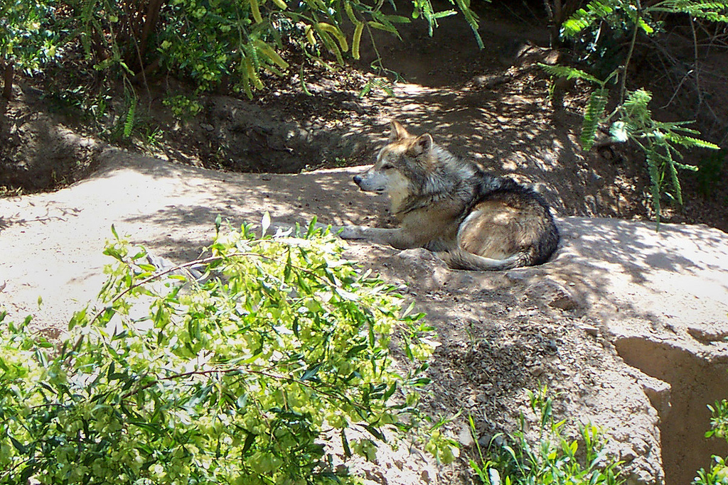 We checked out the animal exhibits first. This wolf was relaxing and watching the people. This museum had nice habitats built for the animals.