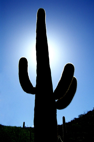 A back lit saguaro.