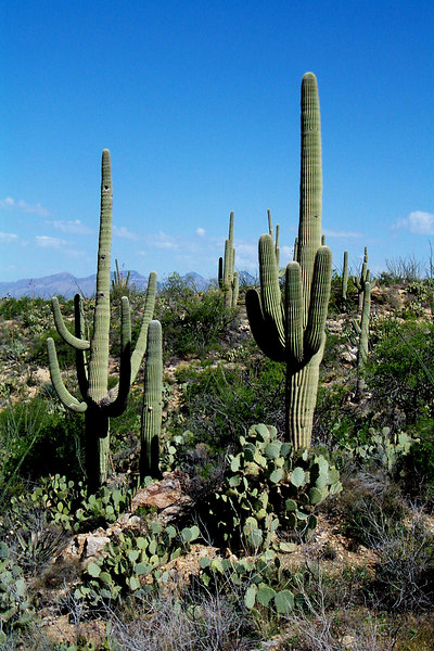 More saguaros, I love these things.