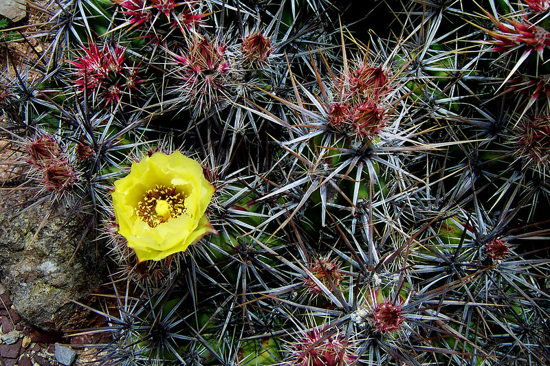 There was an area called the Cactus Garden. Some of the cactus were blooming.