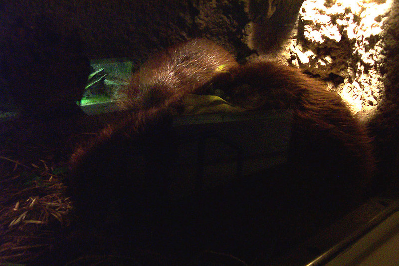 Not a very good photo, but you can make out the two beavers in the den.