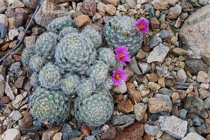 Another type of pincushion cactus.