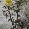Desert Rosemallow (Hibiscus coulteri)