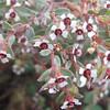 Smallseed Sandmat (Chamaesyce polycarpa)