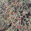 Christmas Cactus (Cylindropuntia leptocaulis)