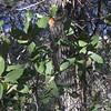 Arizona White Oak (Quercus arizonica)