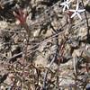 Bristlehead (Carphochaete bigelovii)