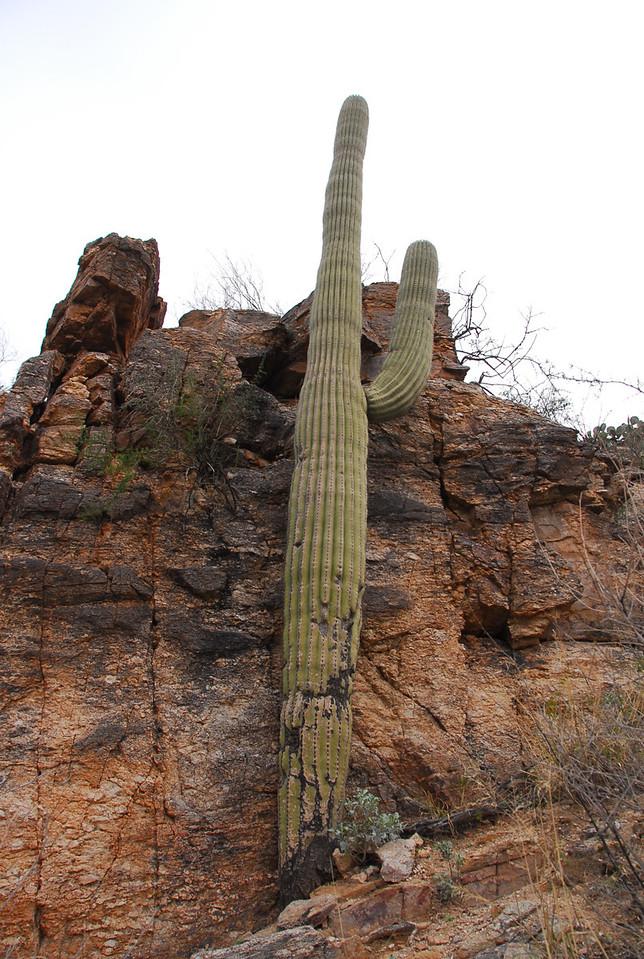 Saguaro cactus in Sabino Canyon. 94% water!
