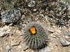<b>Cacti in Bloom</b><br>