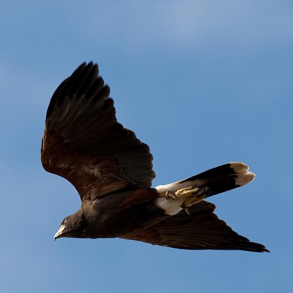 A Harrison Hawk