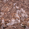 Pima cotton from Pima County Arizona