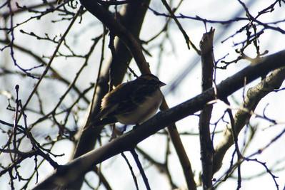1/26/03 Lark Sparrow? (Chondestes grammacus). Tule Elk State Reserve, Kern County, CA