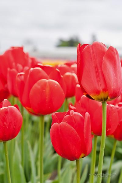 Tulip Festival Skagit County