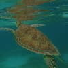 Snorkeling with sea turtles at Half Moon Bay, Akumal - Edventure Tours