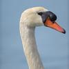 Tundra Swan, Redwood Shores, CA, 2014-04-26