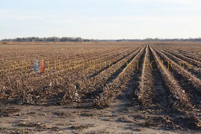Coton field