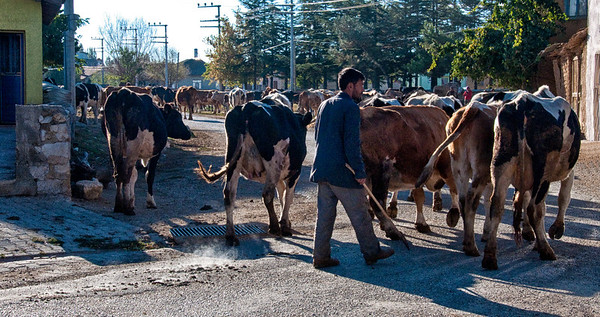 As we were leaving the village after our home stay, we passed by the village cows being herded for the day.