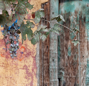 Door and grapes, Uchisar, Cappadocia region, Turkey