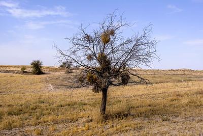 Barren tree and Mistletoe.