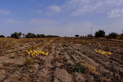 Harvested pumpkins.