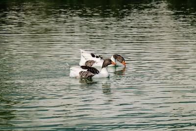 Geese on the Pamukkale Lake.