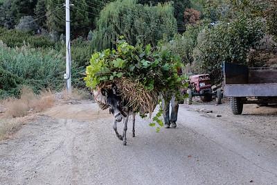 Transporting grape leaves.