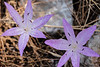 Saffron Crocus or autumn crocus - Crocus sativus.