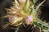 Thistle - Cirsium obvallatum.