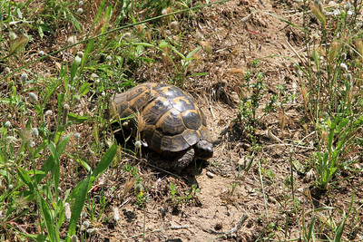 A tortoise in Shrapnel Gully.