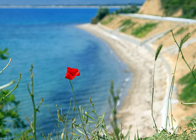 A single wild poppy grows on the cliffs above ANZAC Cove.