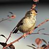 Female Sparrow in thorn bush