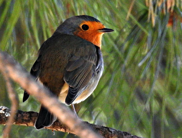 European Robin in pine tree