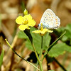 Common Blue Butterfly on Mustard