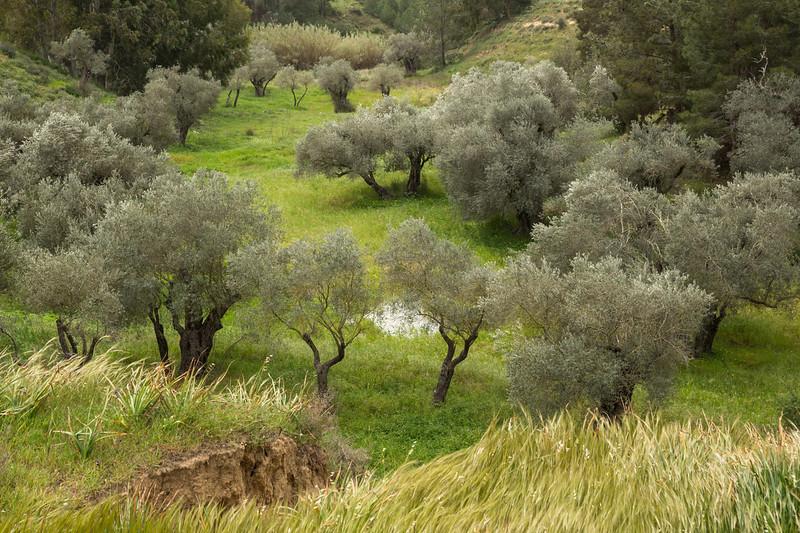 Walking in the ancient olive groves near Kalkanli