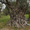 Olive tree approx 800 years old