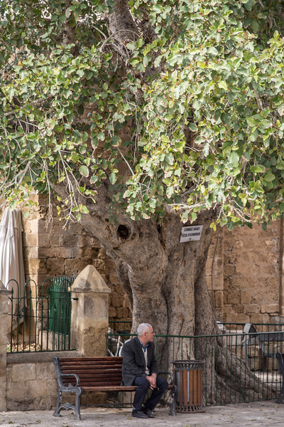 700 year old tropical fig tree is as old as the cathedral