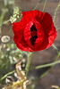 Red poppies were scattered throughout Ephesus.