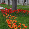 April tulips blooming in the garden of the Blue Mosque in Istanbul.<br /> April 6, 2014