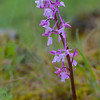 Orchis anatolica - Anatolian Orchid<br /> we saw these at a number of different sites.<br /> photographed April 11, 2014