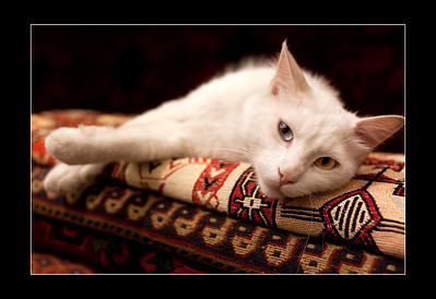 The Turkish Van