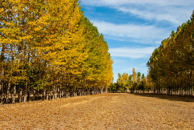 Poplar trees marking field bounderies in autumn