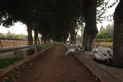 geese in lane, Selcuk, Turkey