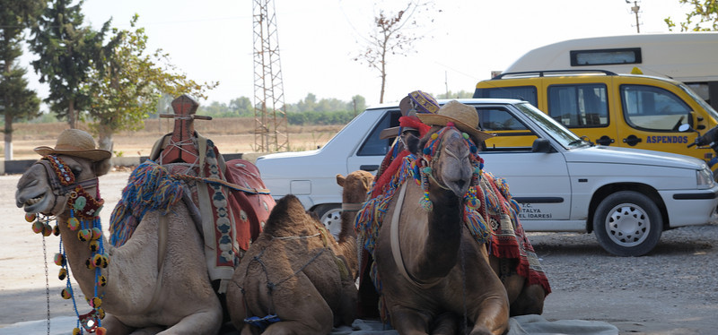 Camels - picture props