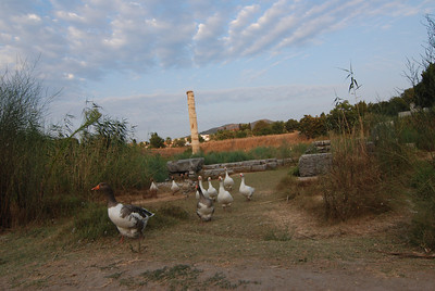 Geese at the Temple of Artemis - Selcuk, Turkey
