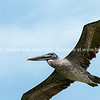 Brown pelican soars over the Blue Hills Bay looking for fish to dive on, Providenciales, Turks and Caicos.