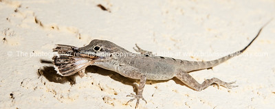 Anole devouring its captured dinner. Prints & downloads.