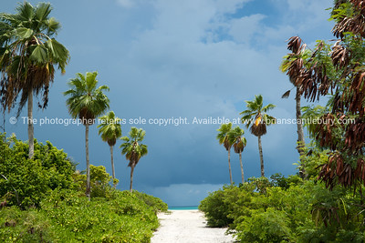Sandy path to beach, line with tall palms. providenciales, Turks & Caicos. Prints & downloads.