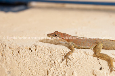 Anole, reptile of Turks& Caicos. Prints & downloads.