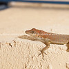Anole, reptile of Turks& Caicos.<br /> Prints & downloads.