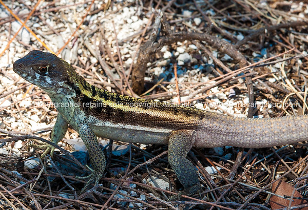 Curly tailed lizard.